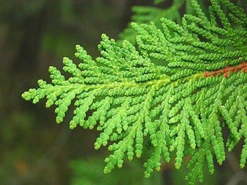 Cedarleaf (Thuja) Hydrosol