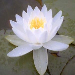 White Lotus Floral Absolute Oil