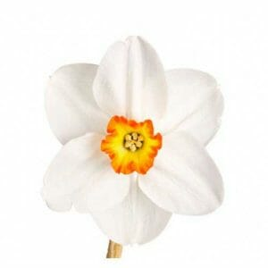 Narcissus Floral Absolute Oil
