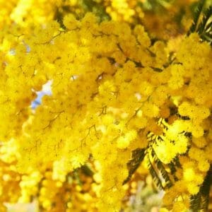 Mimosa Floral Absolute Oil